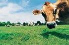closeup of cow in grassy field